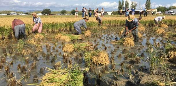 festa de la sega de l'arròs al Delta de l'Ebre