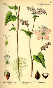 Imatge de la planta del fajol segons la wikipèdia