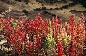 planta de la quinoa
