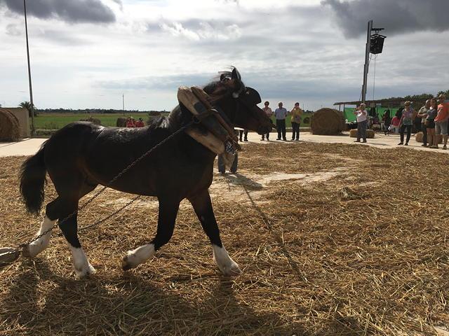 cavall separant palla del gra a la Festa de la Sega al Delta de l'Ebre